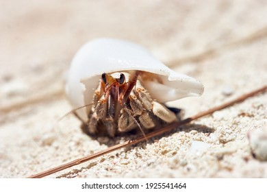 Macro shot of small hermit crab with white shell in the sand of the archipelago Palau