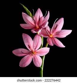 A macro shot of a small pink lily shot against a black background.