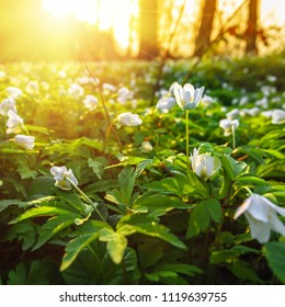 Macro shot of snowdrop flowers in a forest in sunset time.