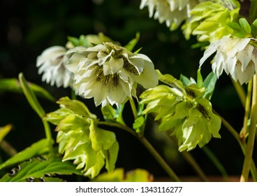 A macro shot of some aging hellebore blooms.