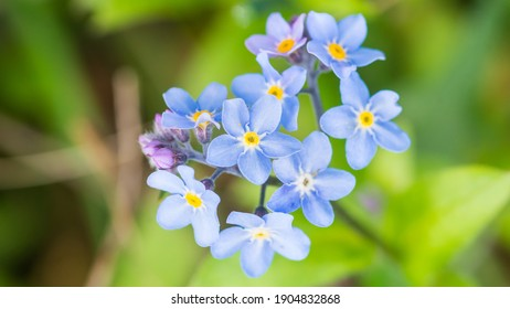 A macro shot of some blue forget me not blooms.