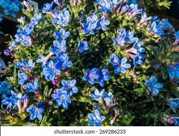 A macro shot of some blue lithodora diffusa blooms.