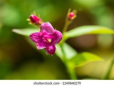 A macro shot of some Jasminum beesianum blossom.