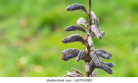 A macro shot of some lupin plant seed capsules.