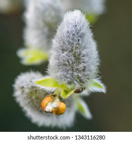 A macro shot of some pussy willow catkins.