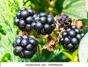 A macro shot of some ripe bramble berries.