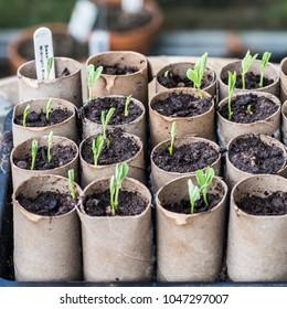 A macro shot of some sweet pea seedlings growing in some cardboard toilet roll inner tubes.