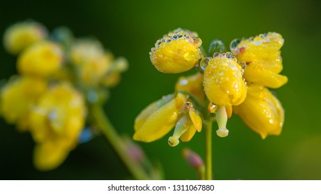 A macro shot of some yellow flower buds of a mahonia japonica bush covered in raindrops.