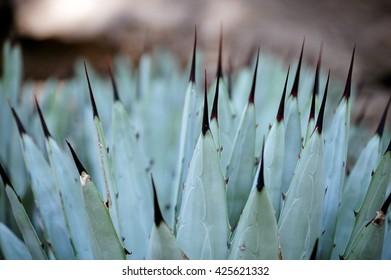 A macro shot of a spiny pita plant