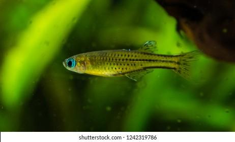 A macro shot of a spotted blue eye rainbowfish.