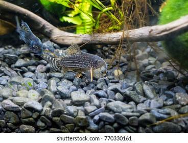 A macro shot of a sterbai corydoras catfish.