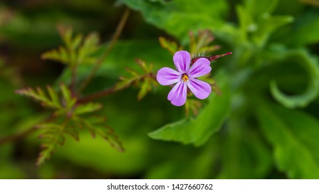 A macro shot of a tiny herb robert bloom.