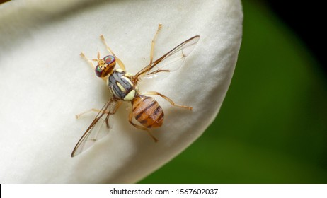 Macro shot of Top view Oriental Fruit Fly or Bactrocera Dorsalis on white flowers background. Animal or insects concept.