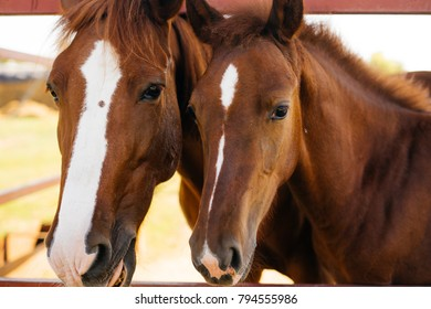 macro shot of two brown beautiful horses