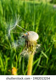 Macro shot of two lonely seeds left on dandelion (Lion's tooth) flower head in the meadow with green grass background. The pappus of the dandelion