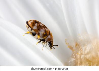 macro shot of a varied carpet beetle on a white daisy