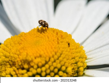 A macro shot of a varied carpet beetle feeding from an ox eye daisy.