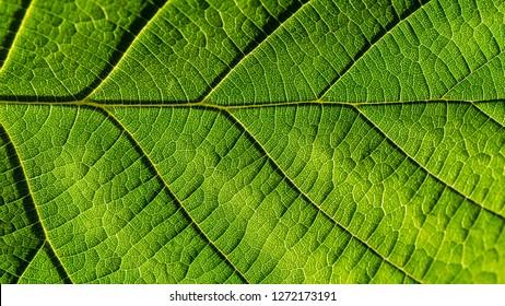A macro shot of a very green twisted hazel tree leaf.