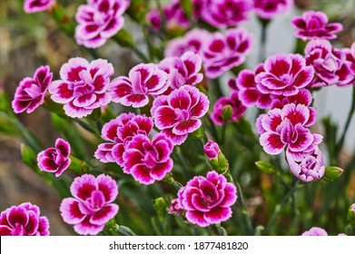 Macro shot of vibrant pink carnations (Dianthus caryophyllus) in the garden.