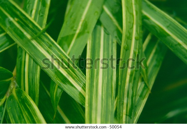 Macro shot of wet ornamental grass