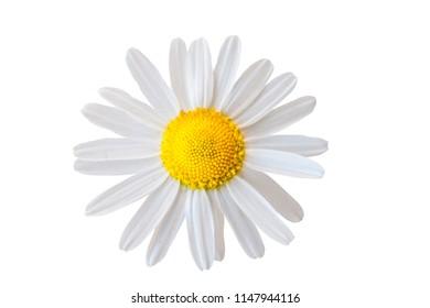 Macro shot or white camomile flower. Extreme closeup. Isolated on white background.