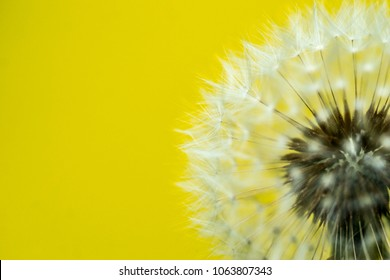 macro shot of white dandelion flower on a bright yellow high contrast background