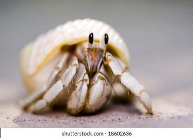 macro shot of white hermit crab peeking out of white shell