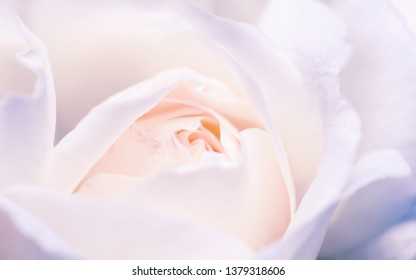 Macro shot of white rose bud. Shallow depth of field and pastel tones.