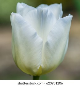 A macro shot of a white tulip bloom.