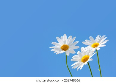 Macro shot of wild chamomiles on a blue sky background.