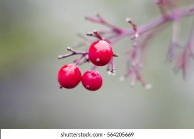 Macro Shot of Winter Berries on Branch