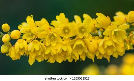 A macro shot of the yellow blossom of a mahonia japonica bush.