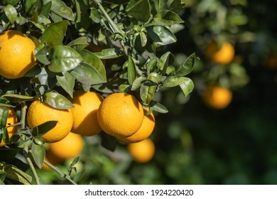 Macro shot of yellow oranges growing on a green branch. Southern Israel