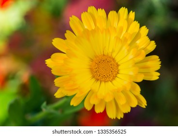 A macro shot of a yellow pot marigold bloom.