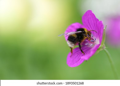 Macro shot of a yellow-and-black striped bumblebee pollinating and collecting nectar on a purple wildflower on a sunny day. Blurred green background. Free space. Selective focus