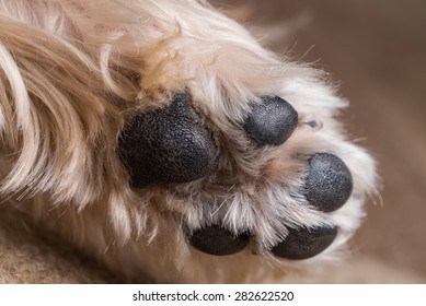 A macro shot of a yorkshire terrier's paw.