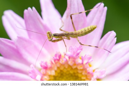 Macro shot of a young praying mantis on a pink flower