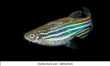 A macro shot of a zebra danio tropical fish.