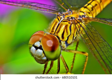 Macro shots, Beautiful nature scene dragonfly. Showing of eyes and wings detail. Dragonfly in the nature habitat using as a background or wallpaper.The concept for writing an article.