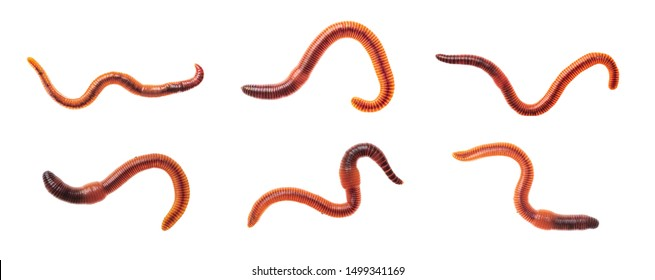 Macro shots of red worm Dendrobena, earthworm live bait for fishing isolated on white background.