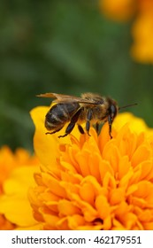 Macro side view individuals of Caucasian honeybee Apis mellifera with wings and legs raised on top of orange Tagetes