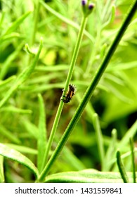 Macro side view of ladybug (Coccinellidae, Coccinella) larva climbing on grass.