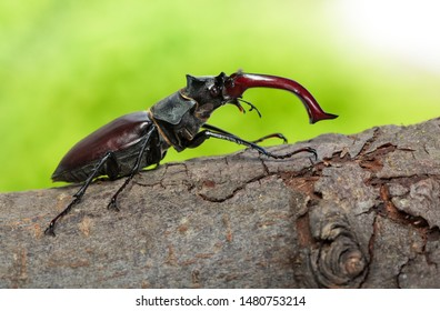Macro side view of whole giant stag beetle (Lucanus cervus) with big red mandibles standing on tree brunch over green forest background