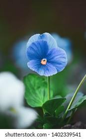 Macro of single blue pansy flower. Dark, green, soft bokeh background with blur