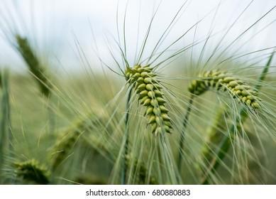 macro of single grain ear confused in blurred field