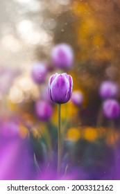 Macro of single isolated purple tulip flower against soft, blurred green background with bokeh bubbles, magical dust and sunshine