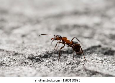 Macro of a single orange translucent ant on gray ground. Shallow depth of field