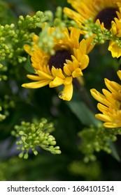 Macro single water droplet on Sunflower