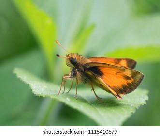 A Macro of a Skipper Butterfly Sitting on a Leaf