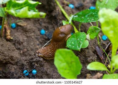 Macro of a slug eating snail grain in a garden bed